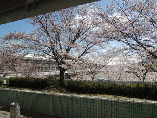 阪神競馬場通路脇桜