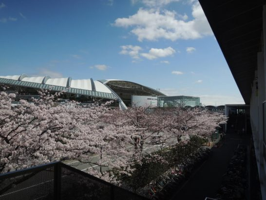 阪神競馬場通路脇桜2