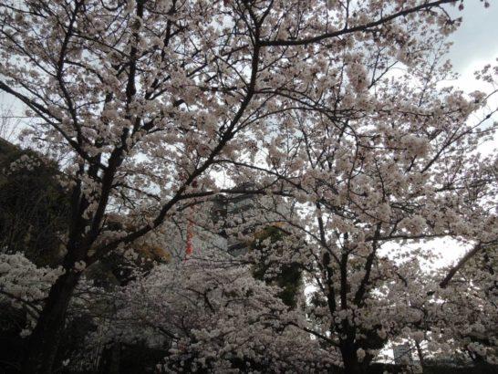 阪神競馬場付属公園桜